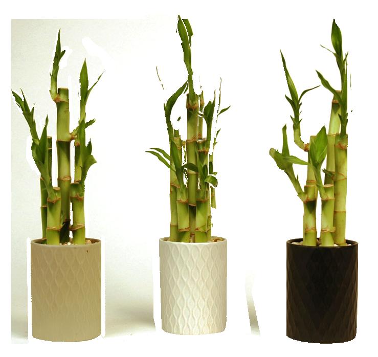 Lucky Bamboo Triad Plant Company Inc
