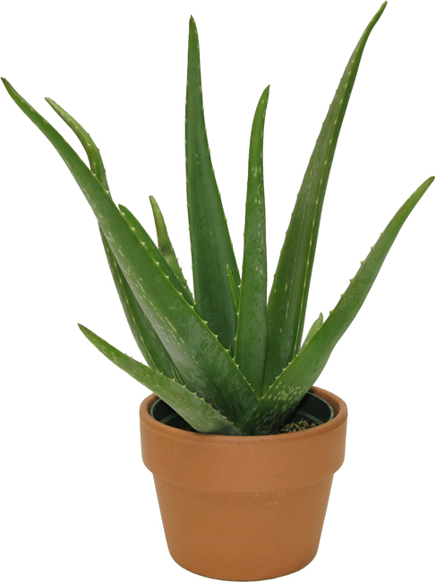 Plant Christmas Cactus
