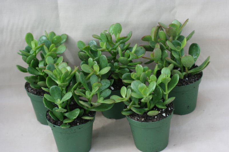 Succulent Jade 3 Inch