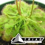 sundew-assorted-carniverous