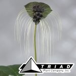 tacca-chantrieri-black-bat-plant-flower