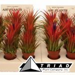 tillandsia-mini-plants