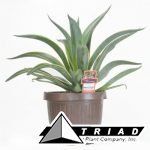 agave-in-brown-urn-pot