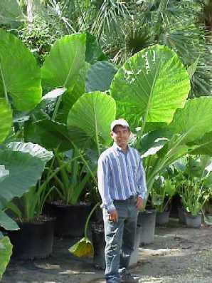 Alocasia Triad Plant Company Inc