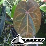 anthurium-ace-of-spades