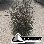 aralia-false-elegantissima