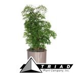 aralia-ming-stump-6-inch