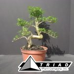 bonsai-starts-serrisa-import