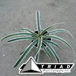 bromeliad-variegated-pineapple