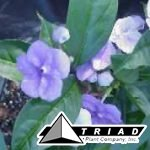 brunfelsia-grandiflora-yesterday-today-tomorrow