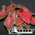 caladiums-scarlet-beauty