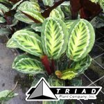 calathea-jungle-cat