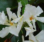 chonemorpha-fragrans-frangipani-vine