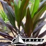 cordyline-fruticosa-black-magic