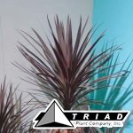 cordyline-red-sensation