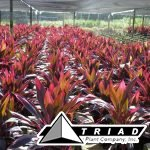 cordyline-red-sister