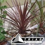 cordyline-red-star