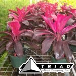 cordyline-ruby