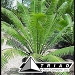 dioon-spinulosum-blue-dioon