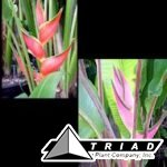 heliconia-orthotricha-imperial