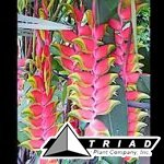 heliconia-rostrata-lobster-claw