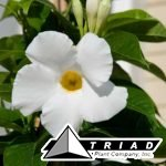 mandevilla-giant-white
