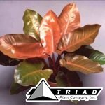 philodendron-prince-of-orange
