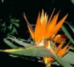 strelitzia-reginae-bird-of-paradise