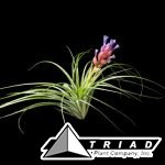 stricta-soft-leaf