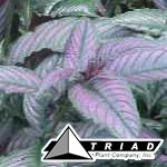 strobilanthes-dyerianus-persian-shield