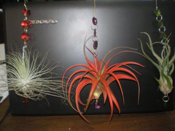 tillandsia-hanging_crystals: Tillandsia Hanging Crystals